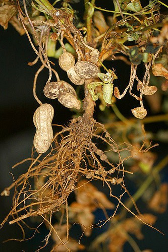 cannabis plant root nodes, organic cannabis, outdoor cannabis growing, cannabis terminology, cannabis slang, Cannabis growers forum & community, How to grow cannabis, how to grow weed, a step by step guide to growing weed, cannabis growers forum, need help with sick plant, what's wrong with my cannabis plant, percy's Grow Room, the Grow Room, Cannabis Grow Guides, weed growing forum, weed growers community, how to grow weed in coco, when is my cannabis plant ready for harvest, how to feed my cannabis plant, beginners guide to growing weed, how to grow weed for personal use, cannabis plant deficiency, how to germinate cannabis seeds, where to buy cannabis seeds, best weed growers website, Learn to grow cannabis, is it easy to grow weed