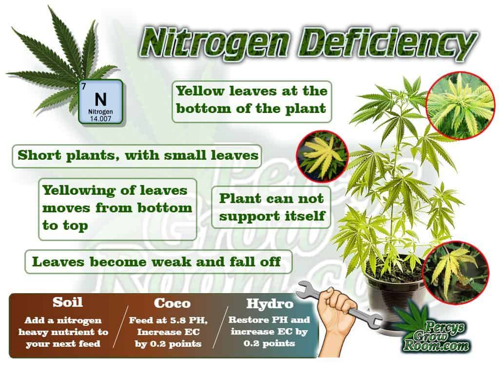 Nitrogen Deficiency in a cannabis plant, plant problems, how to fix nitrogen deficiency in a cannabis plant, How to grow cannabis, how to grow weed, a step by step guide to growing weed, cannabis growers forum, need help with sick plant, what's wrong with my cannabis plant, percys Grow Room, the Grow Room, percys Grow Guides, we'd growing forum, weed growers community, how to grow weed in coco, when is my cannabis plant ready for harvest, how to feed my cannabis plant, beginners guide to growing weed, how to grow weed for personal use, cannabis plant deficiency, how to germinate cannabis seeds, where to buy cannabis seeds, best weed growers website, Cannabis Growers forum, weed growers forum, How to grow legal cannabis, a step by step guide to growing weed, cannabis growing guide, tips for marijuana growers, growing cannabis plants for the first time, marijuana growers forum, marijuana growing tips, cannabis plant problems, cannabis plant help, marijuana growing expert advice, chlorosis