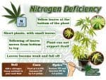 Nitrogen Deficiency in cannabis plants, plant problems, how to fix nitrogen deficiency in a cannabis plant, How to grow cannabis, how to grow weed, a step by step guide to growing weed, cannabis growers forum, need help with sick plant, what's wrong with my cannabis plant, percys Grow Room, the Grow Room, percys Grow Guides, we'd growing forum, weed growers community, how to grow weed in coco, when is my cannabis plant ready for harvest, how to feed my cannabis plant, beginners guide to growing weed, how to grow weed for personal use, cannabis plant deficiency, how to germinate cannabis seeds, where to buy cannabis seeds, best weed growers website, Cannabis Growers forum, weed growers forum, How to grow legal cannabis, a step by step guide to growing weed, cannabis growing guide, tips for marijuana growers, growing cannabis plants for the first time, marijuana growers forum, marijuana growing tips, cannabis plant problems, cannabis plant help, marijuana growing expert advice
