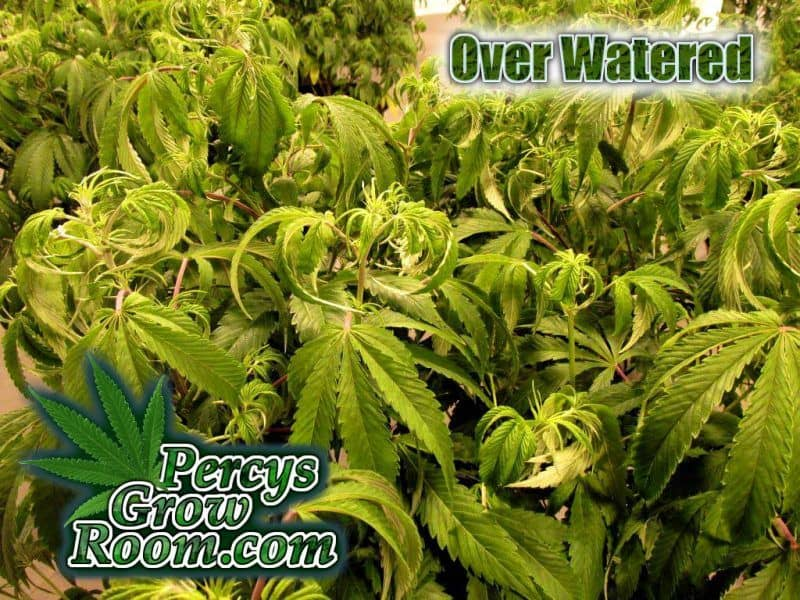 Symptoms of over watering, Cannabis growers forum & community, How to grow cannabis, how to grow weed, a step by step guide to growing weed, cannabis growers forum, need help with sick plant, what's wrong with my cannabis plant, percys Grow Room, the Grow Room, percys Grow Guides, we'd growing forum, weed growers community, how to grow weed in coco, when is my cannabis plant ready for harvest, how to feed my cannabis plant, beginners guide to growing weed, how to grow weed for personal use, cannabis plant deficiency, how to germinate cannabis seeds, where to buy cannabis seeds, best weed growers website