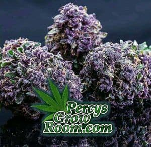 Purple nugs, Percys Grow Room.com And a Cannabis plant drawing with dark green leaves How to grow legal cannabis, a step by step guide to growing weed, cannabis growing guide, tips for marijuana growers, growing cannabis plants for the first time, marijuana growers forum, marijuana growing tips, cannabis plant problems, cannabis plant help, marijuana growing expert advice.