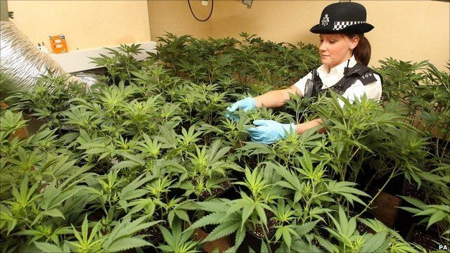 police raid in the uk, cannabis bust, why is cannabis illegal in the uk, Cannabis growers forum & community, How to grow cannabis, how to grow weed, a step by step guide to growing weed, cannabis growers forum, need help with sick plant, what's wrong with my cannabis plant, percys Grow Room, the Grow Room, percys Grow Guides, we'd growing forum, weed growers community, how to grow weed in coco, when is my cannabis plant ready for harvest, how to feed my cannabis plant, beginners guide to growing weed, how to grow weed for personal use, cannabis plant deficiency, how to germinate cannabis seeds, where to buy cannabis seeds, best weed growers website