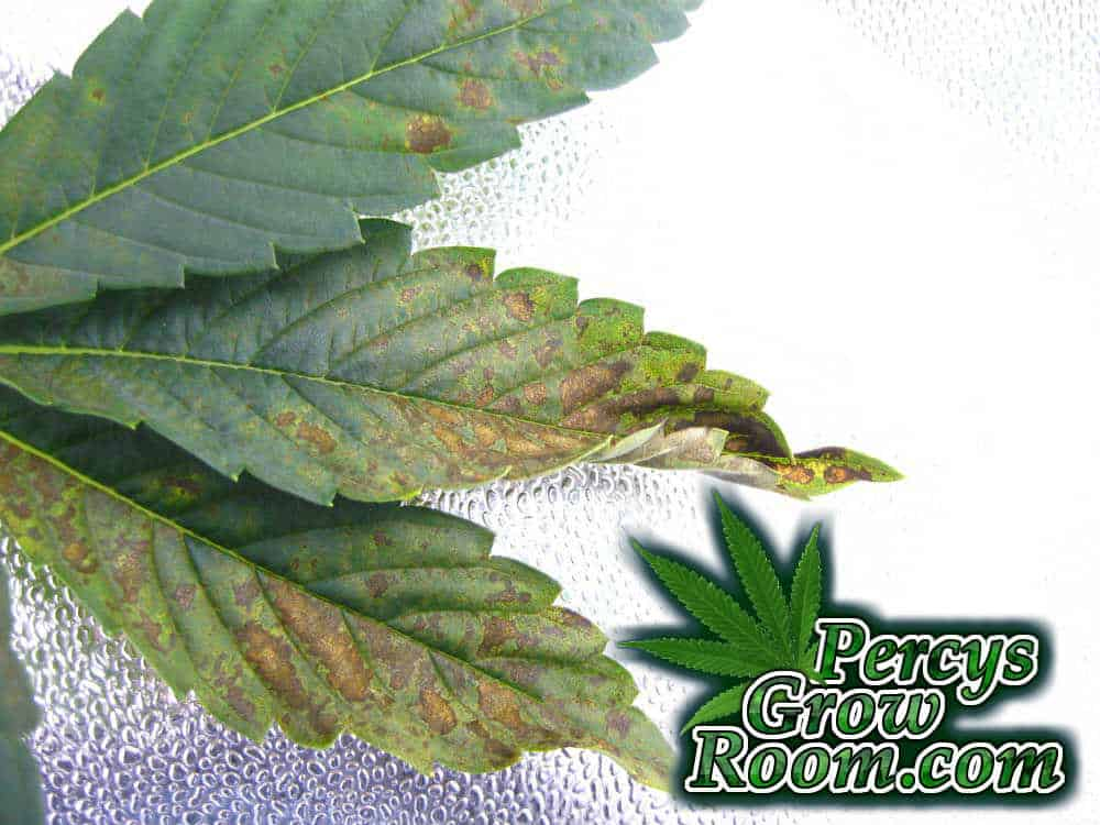 A phosphorus excess/ toxicity in a cannabis plant. A Percys Grow Room guide to phosphorus Excess How to grow legal cannabis, a step by step guide to growing weed, cannabis growing guide, tips for marijuana growers, growing cannabis plants for the first time, marijuana growers forum, marijuana growing tips, cannabis plant problems, cannabis plant help, marijuana growing expert advice.