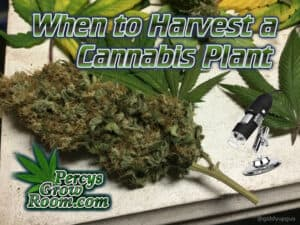 When to harvest a cannabis plant, percys grow room, cannabis growers forum, learn to grow weed,
