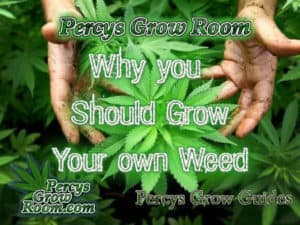 Title picture for percysgrowroom.com Why you should grow your own weedHow to grow legal cannabis, a step by step guide to growing weed, cannabis growing guide, tips for marijuana growers, growing cannabis plants for the first time, marijuana growers forum, marijuana growing tips, cannabis plant problems, cannabis plant help, marijuana growing expert advice.