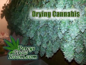 How to dry a cannabis plant, drying cannabis, Cannabis growers forum & community, How to grow cannabis, how to grow weed, a step by step guide to growing weed, cannabis growers forum, need help with sick plant, what's wrong with my cannabis plant, percys Grow Room, the Grow Room, percys Grow Guides, we'd growing forum, weed growers community, how to grow weed in coco, when is my cannabis plant ready for harvest, how to feed my cannabis plant, beginners guide to growing weed, how to grow weed for personal use, cannabis plant deficiency, how to germinate cannabis seeds, where to buy cannabis seeds, best weed growers website, how to dry cannabis