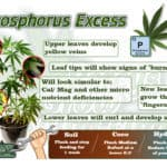 A phosphorus deficiency in a cannabis plant. A Percys Grow Room guide to phosphorus Excess How to grow legal cannabis, a step by step guide to growing weed, cannabis growing guide, tips for marijuana growers, growing cannabis plants for the first time, marijuana growers forum, marijuana growing tips, cannabis plant problems, cannabis plant help, marijuana growing expert advice. Cannabis growers forum & community, How to grow cannabis, how to grow weed, a step by step guide to growing weed, cannabis growers forum, need help with sick plant, what's wrong with my cannabis plant, percys Grow Room, the Grow Room, percys Grow Guides, we'd growing forum, weed growers community, how to grow weed in coco, when is my cannabis plant ready for harvest, how to feed my cannabis plant, beginners guide to growing weed, how to grow weed for personal use, cannabis plant deficiency, how to germinate cannabis seeds, where to buy cannabis seeds, best weed growers website