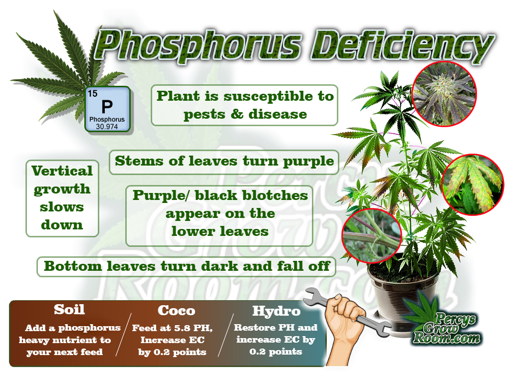 A brief Description of Symptoms of Phosphorus Deficiency in a Cannabis Plant. Percys Grow Room.com And a Cannabis plant drawing with dark green leaves How to grow legal cannabis, a step by step guide to growing weed, cannabis growing guide, tips for marijuana growers, growing cannabis plants for the first time, marijuana growers forum, marijuana growing tips, cannabis plant problems, cannabis plant help, marijuana growing expert advice.