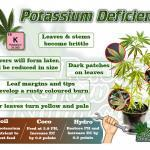 Symptoms of potassium deficiency in a Cannabis Plant. Percys Grow Room.com And a Cannabis plant drawing with dark green leaves, Cannabis growers forum & community, How to grow cannabis, how to grow weed, a step by step guide to growing weed, cannabis growers forum, need help with sick plant, what's wrong with my cannabis plant, percys Grow Room, the Grow Room, percys Grow Guides, we'd growing forum, weed growers community, how to grow weed in coco, when is my cannabis plant ready for harvest, how to feed my cannabis plant, beginners guide to growing weed, how to grow weed for personal use, cannabis plant deficiency, how to germinate cannabis seeds, where to buy cannabis seeds, best weed growers website