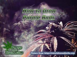 how to grow purple buds, how to grow purple cannabis buds, Cannabis growers forum & community, How to grow cannabis, how to grow weed, a step by step guide to growing weed, cannabis growers forum, need help with sick plant, what's wrong with my cannabis plant, percys Grow Room, the Grow Room, percys Grow Guides, we'd growing forum, weed growers community, how to grow weed in coco, when is my cannabis plant ready for harvest, how to feed my cannabis plant, beginners guide to growing weed, how to grow weed for personal use, cannabis plant deficiency, how to germinate cannabis seeds, where to buy cannabis seeds, best weed growers website, Cannabis Growers forum, weed growers forum, How to grow legal cannabis, a step by step guide to growing weed, cannabis growing guide, tips for marijuana growers, growing cannabis plants for the first time, marijuana growers forum, marijuana growing tips, cannabis plant problems, cannabis plant help, marijuana growing expert advice