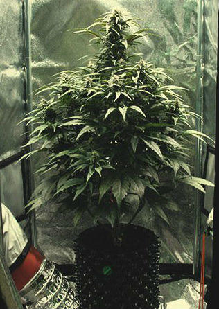 1 plant in a 60cm grow tent, Cannabis growers forum & community, How to grow cannabis, how to grow weed, a step by step guide to growing weed, cannabis growers forum, need help with sick plant, what's wrong with my cannabis plant, percys Grow Room, the Grow Room, percys Grow Guides, we'd growing forum, weed growers community, how to grow weed in coco, when is my cannabis plant ready for harvest, how to feed my cannabis plant, beginners guide to growing weed, how to grow weed for personal use, cannabis plant deficiency, how to germinate cannabis seeds, where to buy cannabis seeds, best weed growers website, how to dry cannabis