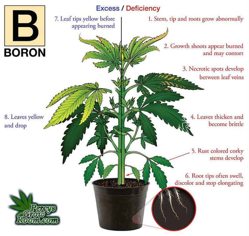 boron deficiency in a cannabis plant, Cannabis growers forum & community, How to grow cannabis, how to grow weed, a step by step guide to growing weed, cannabis growers forum, need help with sick plant, what's wrong with my cannabis plant, percy's Grow Room, the Grow Room, Cannabis Grow Guides, weed growing forum, weed growers community, how to grow weed in coco, when is my cannabis plant ready for harvest, how to feed my cannabis plant, beginners guide to growing weed, how to grow weed for personal use, cannabis plant deficiency, how to germinate cannabis seeds, where to buy cannabis seeds, best weed growers website, Learn to grow cannabis, is it easy to grow weed,