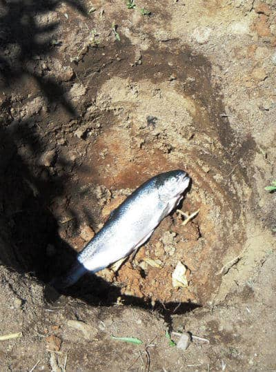burying fish head, for nutrients in soil, organic growing,
