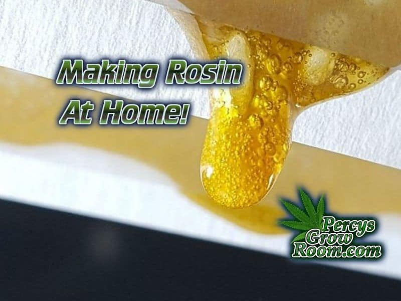 How to make Rosin at home, Rosin Press, Hair straighteners, How to make rosin, Cannabis growers forum & community, How to grow cannabis, how to grow weed, a step by step guide to growing weed, cannabis growers forum, need help with sick plant, what's wrong with my cannabis plant, percys Grow Room, the Grow Room, percys Grow Guides, we'd growing forum, weed growers community, how to grow weed in coco, when is my cannabis plant ready for harvest, how to feed my cannabis plant, beginners guide to growing weed, how to grow weed for personal use, cannabis plant deficiency, how to germinate cannabis seeds, where to buy cannabis seeds, best weed growers website, Cannabis Growers forum, weed growers forum, How to grow legal cannabis, a step by step guide to growing weed, cannabis growing guide, tips for marijuana growers, growing cannabis plants for the first time, marijuana growers forum, marijuana growing tips, cannabis plant problems, cannabis plant help, marijuana growing expert advice