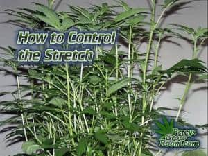 How to control stretch in a cannabis plant, cannabis terminology, cannabis slang, Cannabis growers forum & community, How to grow cannabis, how to grow weed, a step by step guide to growing weed, cannabis growers forum, need help with sick plant, what's wrong with my cannabis plant, percy's Grow Room, the Grow Room, Cannabis Grow Guides, weed growing forum, weed growers community, how to grow weed in coco, when is my cannabis plant ready for harvest, how to feed my cannabis plant, beginners guide to growing weed, how to grow weed for personal use, cannabis plant deficiency, how to germinate cannabis seeds, where to buy cannabis seeds, best weed growers website, Learn to grow cannabis, is it easy to grow weed, Cannabis Growers forum, weed growers forum, How to grow legal cannabis, a step by step guide to growing weed, cannabis growing guide, tips for marijuana growers, growing cannabis plants for the first time, marijuana growers forum, marijuana growing tips, cannabis plant problems, cannabis plant help, marijuana growing expert advice