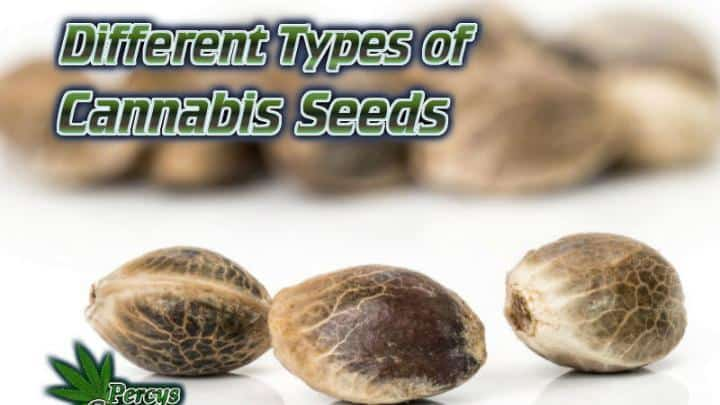 Different types of cannabis seeds, how cannabis seeds works, what are feminised seeds, what are regular cannabis seeds, Auto vs photos, How to grow cannabis, how to grow weed, a step by step guide to growing weed, cannabis growers forum, need help with sick plant, what's wrong with my cannabis plant, percys Grow Room, the Grow Room, percys Grow Guides, we'd growing forum, weed growers community, how to grow weed in coco, when is my cannabis plant ready for harvest, how to feed my cannabis plant, beginners guide to growing weed, how to grow weed for personal use, cannabis plant deficiency, how to germinate cannabis seeds, where to buy cannabis seeds, best weed growers website, Cannabis Growers forum, weed growers forum, How to grow legal cannabis, a step by step guide to growing weed, cannabis growing guide, tips for marijuana growers, growing cannabis plants for the first time, marijuana growers forum, marijuana growing tips, cannabis plant problems, cannabis plant help, marijuana growing expert advice