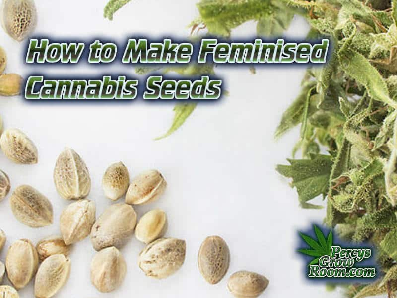 How to Make Feminised Cannabis Seeds, what are feminised seeds, how are feminised cannabis seeds made, How to grow cannabis, how to grow weed, a step by step guide to growing weed, cannabis growers forum, need help with sick plant, what's wrong with my cannabis plant, percys Grow Room, the Grow Room, percys Grow Guides, we'd growing forum, weed growers community, how to grow weed in coco, when is my cannabis plant ready for harvest, how to feed my cannabis plant, beginners guide to growing weed, how to grow weed for personal use, cannabis plant deficiency, how to germinate cannabis seeds, where to buy cannabis seeds, best weed growers website, Cannabis Growers forum, weed growers forum, How to grow legal cannabis, a step by step guide to growing weed, cannabis growing guide, tips for marijuana growers, growing cannabis plants for the first time, marijuana growers forum, marijuana growing tips, cannabis plant problems, cannabis plant help, marijuana growing expert advice