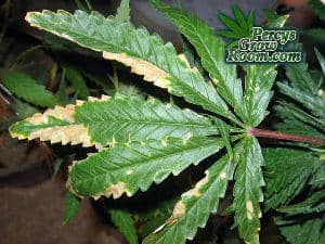 Light burn on a cannabis plant, cannabis leaves with brown patches, upper leaves on a cannabis plant burnt, Cannabis leaves burnt from the light