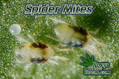 Spider Mites, spider mites on a cannabis plant, How to grow cannabis, how to grow weed, a step by step guide to growing weed, cannabis growers forum, need help with sick plant, what's wrong with my cannabis plant, percys Grow Room, the Grow Room, percys Grow Guides, we'd growing forum, weed growers community, how to grow weed in coco, when is my cannabis plant ready for harvest, how to feed my cannabis plant, beginners guide to growing weed, how to grow weed for personal use, cannabis plant deficiency, how to germinate cannabis seeds, where to buy cannabis seeds, best weed growers website, Cannabis Growers forum, weed growers forum, How to grow legal cannabis, a step by step guide to growing weed, cannabis growing guide, tips for marijuana growers, growing cannabis plants for the first time, marijuana growers forum, marijuana growing tips, cannabis plant problems, cannabis plant help, marijuana growing expert advice
