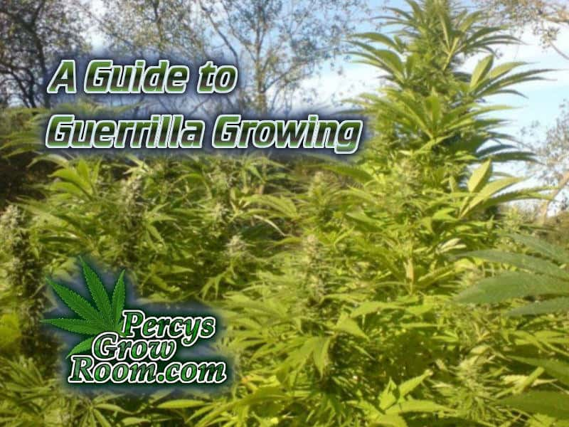 guerrilla growing, gorilla growing, how to guerilla grow, gorilla growing cannabis,, how to dry a guerilla grow, Cannabis growers forum & community, How to grow cannabis, how to grow weed, a step by step guide to growing weed, cannabis growers forum, need help with sick plant, what's wrong with my cannabis plant, percy's Grow Room, the Grow Room, Cannabis Grow Guides, weed growing forum, weed growers community, how to grow weed in coco, when is my cannabis plant ready for harvest, how to feed my cannabis plant, beginners guide to growing weed, how to grow weed for personal use, cannabis plant deficiency, how to germinate cannabis seeds, where to buy cannabis seeds, best weed growers website, Learn to grow cannabis, is it easy to grow weed, Cannabis Growers forum, weed growers forum, How to grow legal cannabis, a step by step guide to growing weed, cannabis growing guide, tips for marijuana growers, growing cannabis plants for the first time, marijuana growers forum, marijuana growing tips, cannabis plant problems, cannabis plant help, marijuana growing expert advice