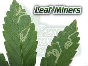 signs of leaf miners on a cannabis plant, cannabis plant bugs and pests, do i have bugs on my cannabis plant, ph for cannabis plants grown in hydroponics, 5.8 is best for vegging plants, and 60 for flowering plants, ph charts for plants grown in hydro, let ph swing between 5.8 and 6.2, Cannabis growers forum & community, How to grow cannabis, how to grow weed, a step by step guide to growing weed, cannabis growers forum, need help with sick plant, what's wrong with my cannabis plant, percy's Grow Room, the Grow Room, Cannabis Grow Guides, weed growing forum, weed growers community, how to grow weed in coco, when is my cannabis plant ready for harvest, how to feed my cannabis plant, beginners guide to growing weed, how to grow weed for personal use, cannabis plant deficiency, how to germinate cannabis seeds, where to buy cannabis seeds, best weed growers website, Learn to grow cannabis, is it easy to grow weed,