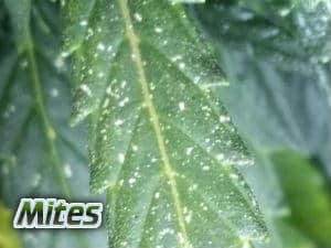 do i have mites on my cannabis plant, symptoms of mites on leaves on cannabis plant, insects on my cannais leaves, ph for cannabis plants grown in hydroponics, 5.8 is best for vegging plants, and 60 for flowering plants, ph charts for plants grown in hydro, let ph swing between 5.8 and 6.2, Cannabis growers forum & community, How to grow cannabis, how to grow weed, a step by step guide to growing weed, cannabis growers forum, need help with sick plant, what's wrong with my cannabis plant, percy's Grow Room, the Grow Room, Cannabis Grow Guides, weed growing forum, weed growers community, how to grow weed in coco, when is my cannabis plant ready for harvest, how to feed my cannabis plant, beginners guide to growing weed, how to grow weed for personal use, cannabis plant deficiency, how to germinate cannabis seeds, where to buy cannabis seeds, best weed growers website, Learn to grow cannabis, is it easy to grow weed,