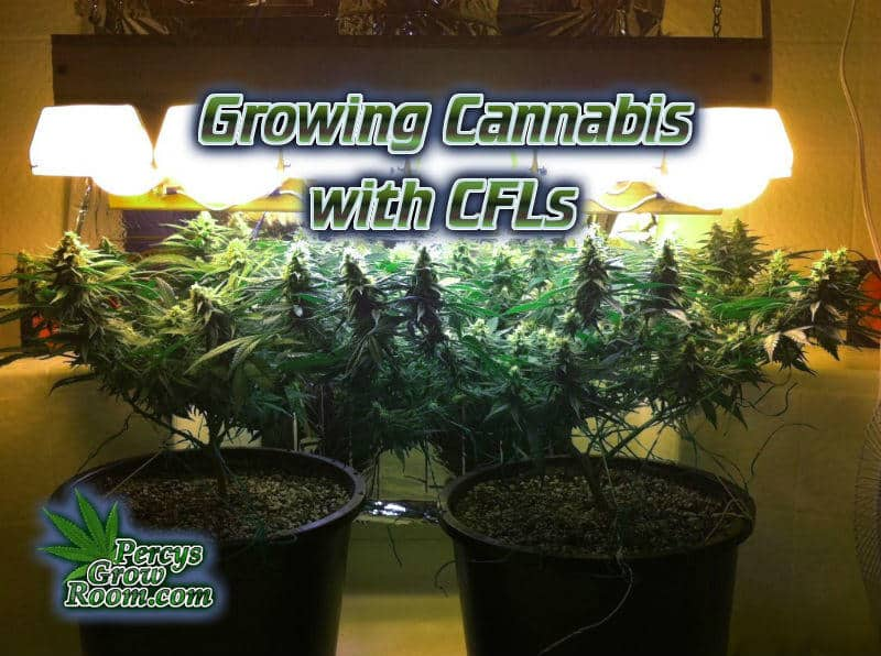 Growing Cannabis With CFLs, CFL grow lights, Stealth growing, cannabis, , How to grow cannabis, how to grow weed, a step by step guide to growing weed, cannabis growers forum, need help with sick plant, what's wrong with my cannabis plant, percys Grow Room, the Grow Room, percys Grow Guides, we'd growing forum, weed growers community, how to grow weed in coco, when is my cannabis plant ready for harvest, how to feed my cannabis plant, beginners guide to growing weed, how to grow weed for personal use, cannabis plant deficiency, how to germinate cannabis seeds, where to buy cannabis seeds, best weed growers website, Cannabis Growers forum, weed growers forum, How to grow legal cannabis, a step by step guide to growing weed, cannabis growing guide, tips for marijuana growers, growing cannabis plants for the first time, marijuana growers forum, marijuana growing tips, cannabis plant problems, cannabis plant help, marijuana growing expert advice