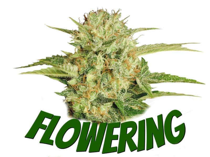 Guides on flowering cannabis plants, weed growers, best weed growers website, Cannabis Growers forum, weed growers forum,