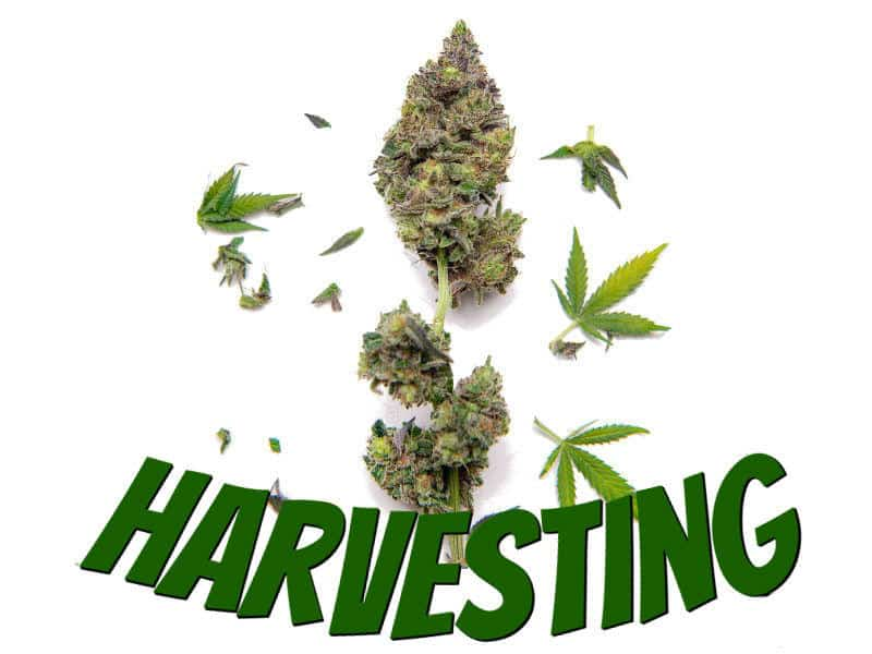Harvesting cannabis, how to grow weed, a step by step guide to growing weed, cannabis growers forum, percys Grow Room, how to grow weed in coco, beginners guide to growing weed, how to grow weed for personal use, weed growers forum,