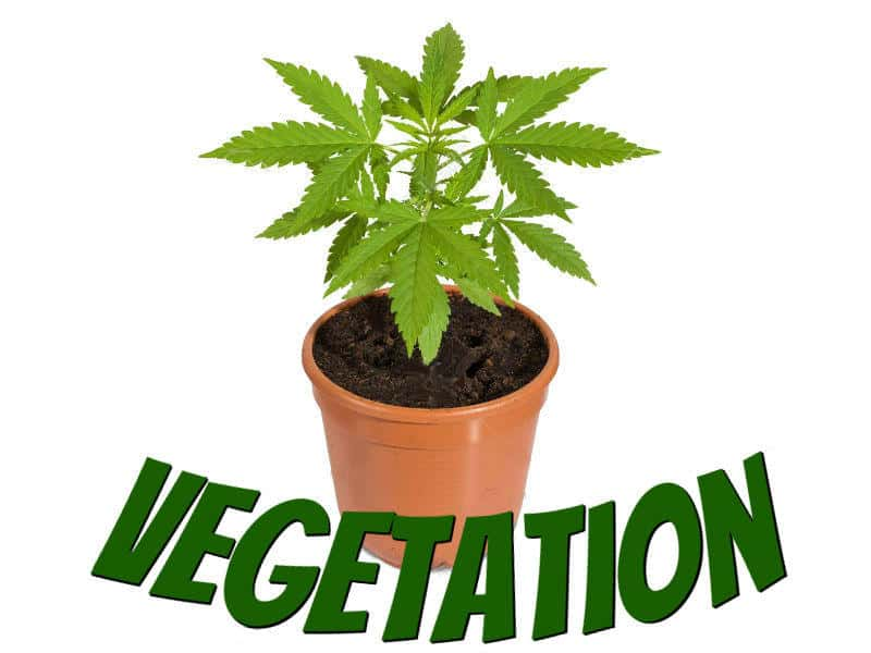 Guides to vegetating cannabis plants, grow cannabis, how to grow weed, a step by step guide to growing weed, cannabis growers forum,  percys Grow Room, the Grow Room, percys Grow Guides, weed growers forum