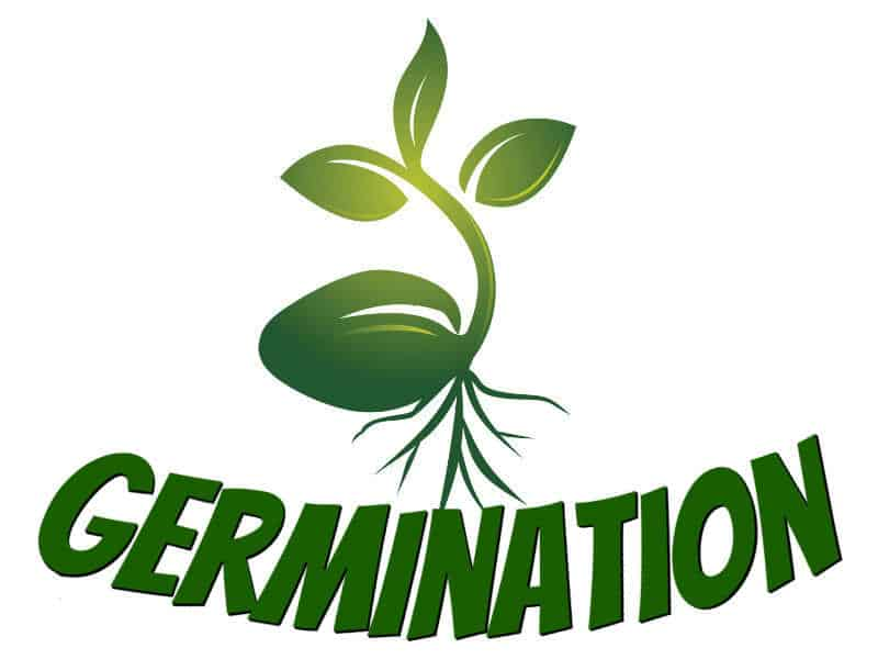 Guides on how to germinate cannabis seeds, germinating weed seeds. a step by step guide to growing weed, cannabis growers forum, forum, how to grow weed in coco, cannabis plant deficiency, how to germinate cannabis seeds, best weed growers website,  weed growers forum,