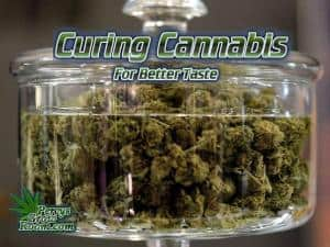 How to cure buds for best taste, how to cure cannabis, what is curing,, how to cure buds for better tastegrow cannabis, how to grow weed, a step by step guide to growing weed, cannabis growers forum, need help with sick plant, what's wrong with my cannabis plant, percys Grow Room, the Grow Room, percys Grow Guides, we'd growing forum, weed growers community, how to grow weed in coco, when is my cannabis plant ready for harvest, how to feed my cannabis plant, beginners guide to growing weed, how to grow weed for personal use, cannabis plant deficiency, how to germinate cannabis seeds, where to buy cannabis seeds, best weed growers website, Cannabis Growers forum, weed growers forum, How to grow legal cannabis, a step by step guide to growing weed, cannabis growing guide, tips for marijuana growers, growing cannabis plants for the first time, marijuana growers forum, marijuana growing tips, cannabis plant problems, cannabis plant help, marijuana growing expert advice