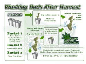 how to wash buds after harvest, bud washing, what is bud washing, how to feed my cannabis plant, beginners guide to growing weed, how to grow weed for personal use, cannabis plant deficiency, how to germinate cannabis seeds, where to buy cannabis seeds, best weed growers website, Cannabis Growers forum, weed growers forum, How to grow legal cannabis, a step by step guide to growing weed, cannabis growing guide, tips for marijuana growers, growing cannabis plants for the first time, marijuana growers forum, marijuana growing tips, cannabis plant problems, cannabis plant help, marijuana growing expert advice, Percys Grow Room