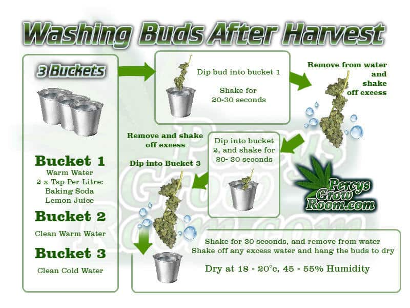how to wash buds after harvest, bud washing, what is bud washing, how to feed my cannabis plant, beginners guide to growing weed, how to grow weed for personal use, cannabis plant deficiency, how to germinate cannabis seeds, where to buy cannabis seeds, best weed growers website, Cannabis Growers forum, weed growers forum, How to grow legal cannabis, a step by step guide to growing weed, cannabis growing guide, tips for marijuana growers, growing cannabis plants for the first time, marijuana growers forum, marijuana growing tips, cannabis plant problems, cannabis plant help, marijuana growing expert advice