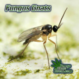 adult female fungus gnats, what is a fungus gnat, how to feed my cannabis plant, beginners guide to growing weed, how to grow weed for personal use, cannabis plant deficiency, how to germinate cannabis seeds, where to buy cannabis seeds, best weed growers website, Cannabis Growers forum, weed growers forum, How to grow legal cannabis, a step by step guide to growing weed, cannabis growing guide, tips for marijuana growers, growing cannabis plants for the first time, marijuana growers forum, marijuana growing tips, cannabis plant problems, cannabis plant help, marijuana growing expert advice