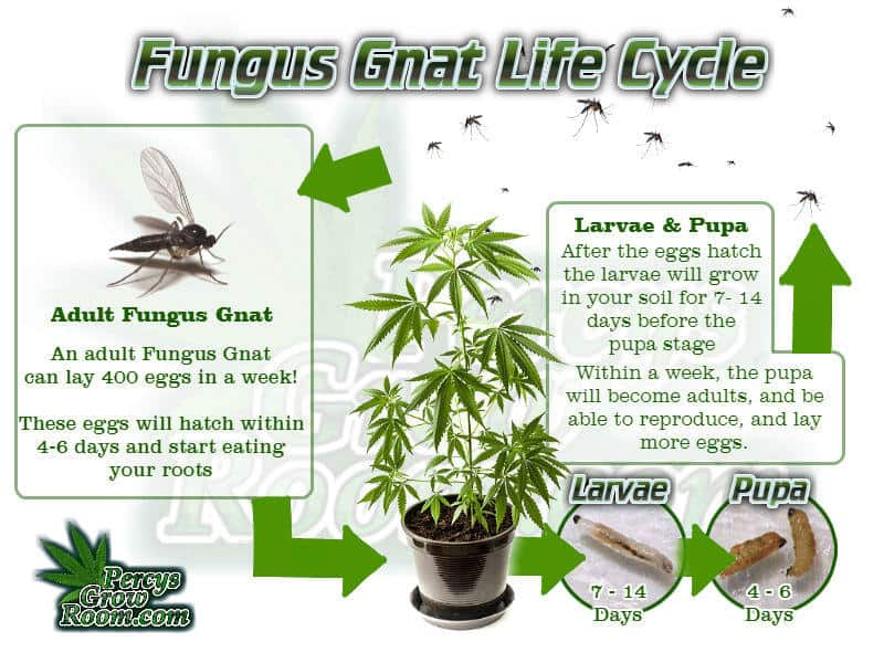 life cycle of a fungus gnat, fungus gnat life cycle, Cannabis growers forum & community, How to grow cannabis, how to grow weed, a step by step guide to growing weed, cannabis growers forum, need help with sick plant, what's wrong with my cannabis plant, percy's Grow Room, the Grow Room, Cannabis Grow Guides, weed growing forum, weed growers community, how to grow weed in coco, when is my cannabis plant ready for harvest, how to feed my cannabis plant, beginners guide to growing weed, how to grow weed for personal use, cannabis plant deficiency, how to germinate cannabis seeds, where to buy cannabis seeds, best weed growers website, Learn to grow cannabis, is it easy to grow weed, How to grow cannabis, how to grow weed, a step by step guide to growing weed, cannabis growers forum, need help with sick plant, what's wrong with my cannabis plant, percys Grow Room, the Grow Room, percys Grow Guides, we'd growing forum, weed growers community, how to grow weed in coco, when is my cannabis plant ready for harvest, how to feed my cannabis plant, beginners guide to growing weed, how to grow weed for personal use, cannabis plant deficiency, how to germinate cannabis seeds, where to buy cannabis seeds, best weed growers website, Cannabis Growers forum, weed growers forum, How to grow legal cannabis, a step by step guide to growing weed, cannabis growing guide, tips for marijuana growers, growing cannabis plants for the first time, marijuana growers forum, marijuana growing tips, cannabis plant problems, cannabis plant help, marijuana growing expert advice