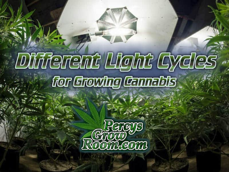 Light cycles for growing cannabis, different light cycles for gorwing cannabis, growing cannabis outdoors light cycle, how to feed my cannabis plant, beginners guide to growing weed, how to grow weed for personal use, cannabis plant deficiency, how to germinate cannabis seeds, where to buy cannabis seeds, best weed growers website, Cannabis Growers forum, weed growers forum, How to grow legal cannabis, a step by step guide to growing weed, cannabis growing guide, tips for marijuana growers, growing cannabis plants for the first time, marijuana growers forum, marijuana growing tips, cannabis plant problems, cannabis plant help, marijuana growing expert advice