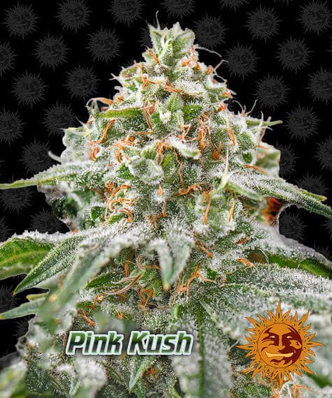 pink kush, barneys farm, beginners guide to growing weed, how to grow weed for personal use, cannabis plant deficiency, how to germinate cannabis seeds, where to buy cannabis seeds, best weed growers website, Cannabis Growers forum, weed growers forum, How to grow legal cannabis, a step by step guide to growing weed, cannabis growing guide, tips for marijuana growers, growing cannabis plants for the first time, marijuana growers forum, marijuana growing tips, cannabis plant problems, cannabis plant help, marijuana growing expert advice