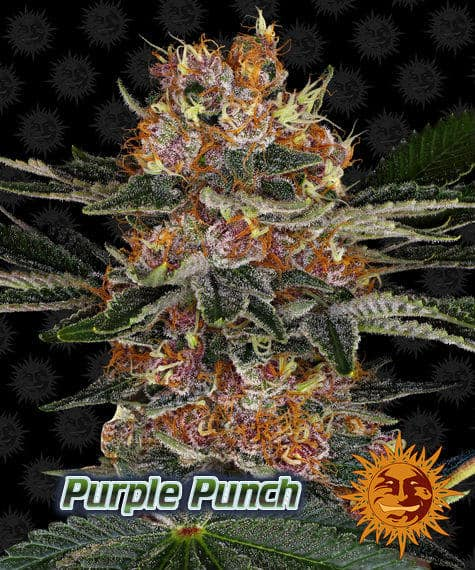 purple punch, barneys farm, beginners guide to growing weed, how to grow weed for personal use, cannabis plant deficiency, how to germinate cannabis seeds, where to buy cannabis seeds, best weed growers website, Cannabis Growers forum, weed growers forum, How to grow legal cannabis, a step by step guide to growing weed, cannabis growing guide, tips for marijuana growers, growing cannabis plants for the first time, marijuana growers forum, marijuana growing tips, cannabis plant problems, cannabis plant help, marijuana growing expert advice