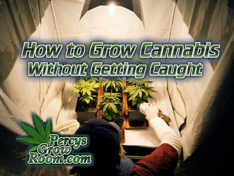 how to grow cannabis without getting caught, Grow cannabis illegally with low risk, cannabis plant in a small tent, how to store cannabis seeds, beginners guide to growing weed, how to grow weed for personal use, cannabis plant deficiency, how to germinate cannabis seeds, where to buy cannabis seeds, best weed growers website, Cannabis Growers forum, weed growers forum, How to grow legal cannabis, a step by step guide to growing weed, cannabis growing guide, tips for marijuana growers, growing cannabis plants for the first time, marijuana growers forum, marijuana growing tips, cannabis plant problems, cannabis plant help, marijuana growing expert advice