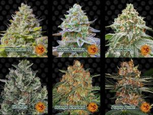 new strains from barneys farm, zkittle og, purple punch, lsd auto, glue gelato, strawberry lemondae, Percys grow room, free cannabis seeds, cannabis competitions, beginners guide to growing weed, how to grow weed for personal use, cannabis plant deficiency, how to germinate cannabis seeds, where to buy cannabis seeds, best weed growers website, Cannabis Growers forum, weed growers forum, How to grow legal cannabis, a step by step guide to growing weed, cannabis growing guide, tips for marijuana growers, growing cannabis plants for the first time, marijuana growers forum, marijuana growing tips, cannabis plant problems, cannabis plant help, marijuana growing expert advice