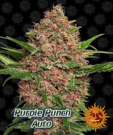 New Strains from Barneys Farm, Purple Punch,