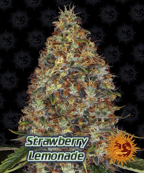 Strawberry lemonade, barneys farm, beginners guide to growing weed, how to grow weed for personal use, cannabis plant deficiency, how to germinate cannabis seeds, where to buy cannabis seeds, best weed growers website, Cannabis Growers forum, weed growers forum, How to grow legal cannabis, a step by step guide to growing weed, cannabis growing guide, tips for marijuana growers, growing cannabis plants for the first time, marijuana growers forum, marijuana growing tips, cannabis plant problems, cannabis plant help, marijuana growing expert advice
