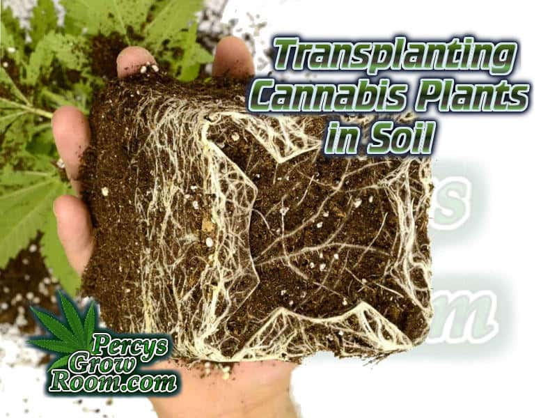 how to transplant cannabis plants in soil, beginners guide to growing weed, how to grow weed for personal use, cannabis plant deficiency, how to germinate cannabis seeds, where to buy cannabis seeds, best weed growers website, Cannabis Growers forum, weed growers forum, How to grow legal cannabis, a step by step guide to growing weed, cannabis growing guide, tips for marijuana growers, growing cannabis plants for the first time, marijuana growers forum, marijuana growing tips, cannabis plant problems, cannabis plant help, marijuana growing expert advice