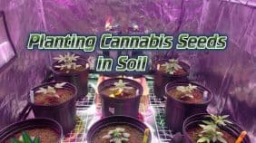 Planting cannabis seeds in soil, beginners guide to growing weed, how to grow weed for personal use, cannabis plant deficiency, how to germinate cannabis seeds, where to buy cannabis seeds, best weed growers website, Cannabis Growers forum, weed growers forum, How to grow legal cannabis, a step by step guide to growing weed, cannabis growing guide, tips for marijuana growers, growing cannabis plants for the first time, marijuana growers forum, marijuana growing tips, cannabis plant problems, cannabis plant help, marijuana growing expert advice
