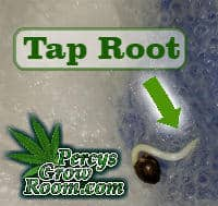 tap root on a cannabis seed, beginners guide to growing weed, how to grow weed for personal use, cannabis plant deficiency, how to germinate cannabis seeds, where to buy cannabis seeds, best weed growers website, Cannabis Growers forum, weed growers forum, How to grow legal cannabis, a step by step guide to growing weed, cannabis growing guide, tips for marijuana growers, growing cannabis plants for the first time, marijuana growers forum, marijuana growing tips, cannabis plant problems, cannabis plant help, marijuana growing expert advice
