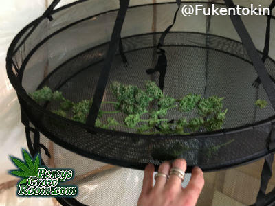 Drying cannabis in a drying rack, how to dry cannabis, Cannabis growers forum & community, How to grow cannabis, how to grow weed, a step by step guide to growing weed, cannabis growers forum, need help with sick plant, what's wrong with my cannabis plant, percys Grow Room, the Grow Room, percys Grow Guides, we'd growing forum, weed growers community, how to grow weed in coco, when is my cannabis plant ready for harvest, how to feed my cannabis plant, beginners guide to growing weed, how to grow weed for personal use, cannabis plant deficiency, how to germinate cannabis seeds, where to buy cannabis seeds, best weed growers website, guide to drying weed after harvest