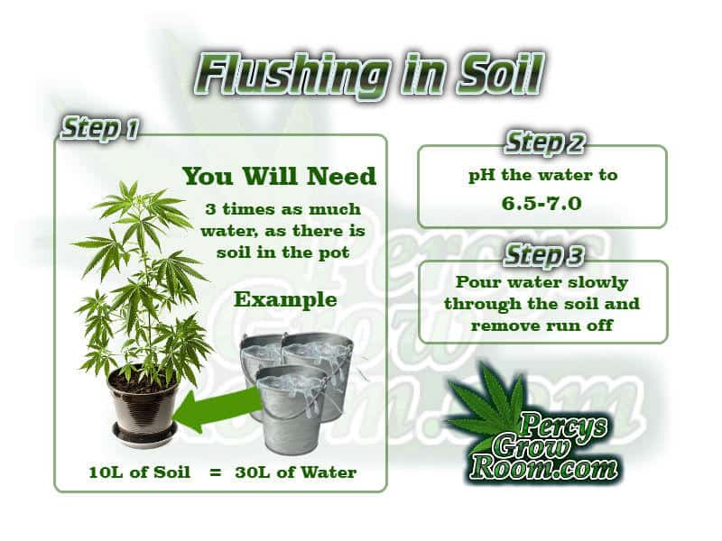 Flushing a cannabis plant in soil, how to flush a cannabis plant, flushing cannabis plant, Cannabis growers forum & community, How to grow cannabis, how to grow weed, a step by step guide to growing weed, cannabis growers forum, need help with sick plant, what's wrong with my cannabis plant, percy's Grow Room, the Grow Room, Cannabis Grow Guides, weed growing forum, weed growers community, how to grow weed in coco, when is my cannabis plant ready for harvest, how to feed my cannabis plant, beginners guide to growing weed, how to grow weed for personal use, cannabis plant deficiency, how to germinate cannabis seeds, where to buy cannabis seeds, best weed growers website, Learn to grow cannabis, is it easy to grow weed, Cannabis Growers forum, weed growers forum, How to grow legal cannabis, a step by step guide to growing weed, cannabis growing guide, tips for marijuana growers, growing cannabis plants for the first time, marijuana growers forum, marijuana growing tips, cannabis plant problems, cannabis plant help, marijuana growing expert advice