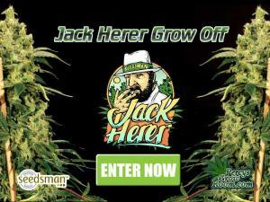 Jack Herer Grow Off, Grow Off, Seedsman, Cannabis Growers Forum, Cannabis Grow Diaries, Cannabis plant infirmary, Learn to grow Cannabis, Cannabis Plant Problems, Cannabis Growing Forum, Marijuana Growers Forum, Weed Growers Forum, How to grow Cannabis, Cannabis Grow Guides, Guides for growing Cannabis, Percys Grow Room