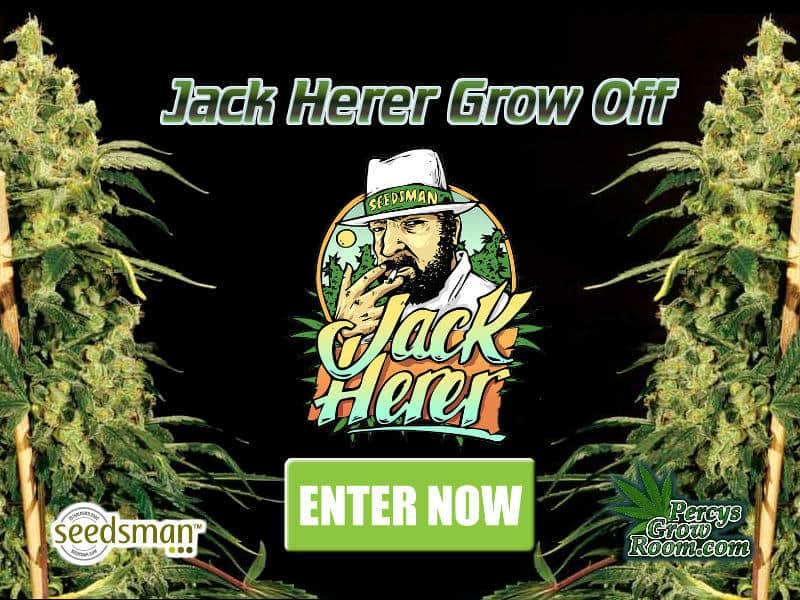 Jack Herer Grow Off, Grow Off, Seedsman, Cannabis Growers Forum, Cannabis Grow Diaries, Cannabis plant infirmary, Learn to grow Cannabis, Cannabis Plant Problems, Cannabis Growing Forum, Marijuana Growers Forum, Weed Growers Forum, How to grow Cannabis, Cannabis Grow Guides, Guides for growing Cannabis, Percys Grow Room